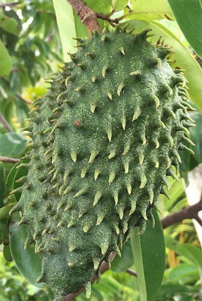 Corossol fruit : origines, bienfaits, consommation, précautions
